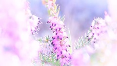 soft breeze dreaming... (ggcphoto) Tags: dreaming soft breeze heather softness light nature