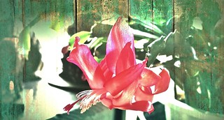 The Christmas Cactus, That never blooms at Christmas (explore)