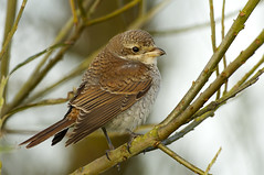 Red-backed Shrike (J J McHale) Tags: redbackedshrike redbacked shrike laniuscollurio