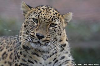 Norh Persian Leopard - Tierpark Nordhorn