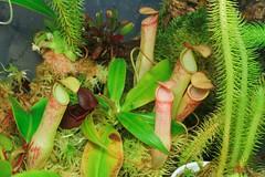 (venwu225) Tags: nepenthes pitcher plants life green soul fashion carnivorous captive