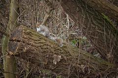 Squirrel (Jomak1) Tags: 2017 breathinglondon february london putney rps thamespathway jomak1 photowalk squirrel winter