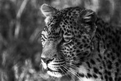 Leopard Sabisands Reserve Mpumalanga South Africa (M&M_Photography) Tags: leopard big5 bigcat elegancy leopardo sabisands reserve gamereserve safari travel mpumalanga southafrica africa head cabeza hunting cazando awesome picture photo followme bw blackwhite bnw