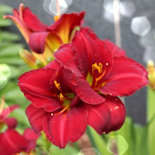 Sonnenberg Gardens & Mansion Historic Park ~ Canandaigua NY ~  Christmas Lily