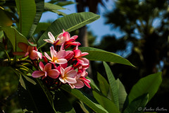 Plumeria flowers (anton_frolov) Tags: garden flower plant flowers green tree bokeh thailand pattaya najomtien sony a65 leaf palm wonderfulworld discoveryphotos platinumheartaward