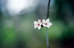 Spring blossoms (-Alberto_) Tags: nikonn90 kodakektar 50mmlens macro bokeh 35mmfilm nature blossoms