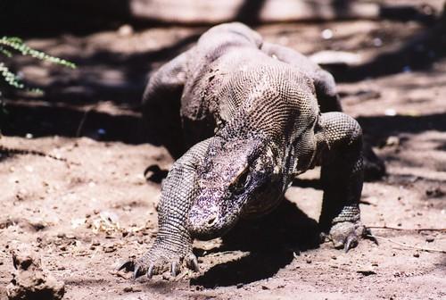Wild Komodo Dragon On the Prowl