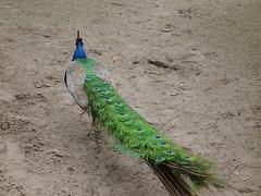 Groene Pauw