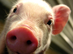are you going to eat that? (manyfires) Tags: animal barn rural pig iowa piglet livestock farmlife