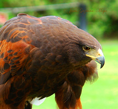 Harris Hawk (Parabuteo Unicintus) (Jesus Guzman-Moya) Tags: mxico wow mexico interestingness puebla babel 1on1 naturescenes harrishawk africam dscr1 100vistas i500 500i 2on2 sonycybershotdscr1 chuchogm analiza4044 2on2featurepair parabuteounicintus newphotographers jessguzmnmoya avianexcellence salveanatureza