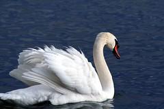 Swan (guzelilayda) Tags: nature animal top20animalpix swans lacleman petsreadrulesrmovedandmemberremovedsorry