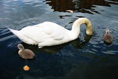 Swan & cygnets (Simon Crubellier) Tags: uk england bird london nature canon canal swan europe camden cygnet ixus regentscanal swans cygnets camdenlock ixus50 simoncrubellier