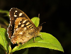 "Speckled Wood Butterfly (Pararge aege(8) • <a style=""font-size:0.8em;"" href=""http://www.flickr.com/photos/57024565@N00/159164551/"" target=""_blank"">View on Flickr</a>"