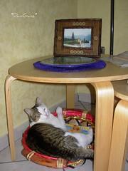 Fusillo Cosmopolitan (*DaniGanz*) Tags: sleeping white cute cat cosmopolitan basket tabby kitty gatto bianco kittie micio cesta cesto fusillo tigrato daniganz