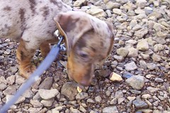 Baxter at a creek (swellsome) Tags: dog puppy eric dachshund kari baxter dapple doxie wiener dog mini dachshund