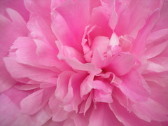Pink peony - by Buttersweet - PLEASE REMEMBER OUR FRIENDS IN CHILE