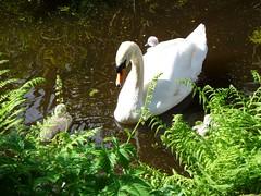 Swans at Carlow (tobyciara) Tags: swans cygnets