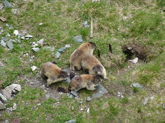 Marmots (Jason Gillyon) Tags: austria marmots