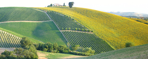 Collina d'Oro ,  Vineyards , Sunflower-fields , Olivetrees, Oak