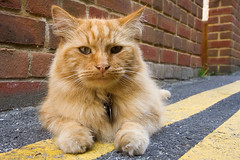 somebody else's cat LX (dr_loplop) Tags: street hairy orange brick lines tarmac yellow wall sphinx cat ears whiskers chipmunk bond wisdom obligatory brickwork schoolmaster notmycat englishbond notgardenwall
