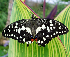 Butterfly dreaming *1 (cattycamehome) Tags: pink white black green tag3 taggedout butterfly tag2 all tag1  butterflies rights reserved catherineingram specanimal cattycamehome allrightsreserved