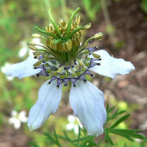 nigela plant