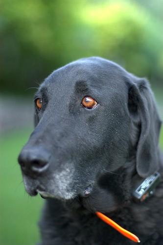 [フリー画像] 動物, 哺乳類, イヌ科, 犬・イヌ, ラブラドール・レトリバー, 200807150600
