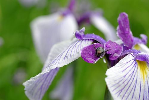 Japanease beetle on iris