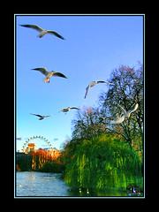 Pjaros (Birds) (No veo nada (Coke)) Tags: sky bird london flying gulls noveonada stjamesparklake