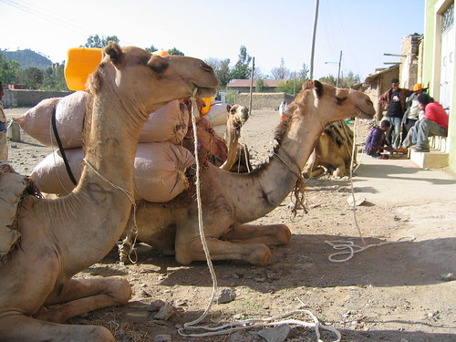 Camels being loaded in Mekelle