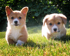 go puppies go (manyfires) Tags: summer dog puppy corgi furry fuzzy adorable running