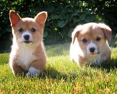 go puppies go (manyfires) Tags: summer dog puppy corgi furry fuzzy adorable running