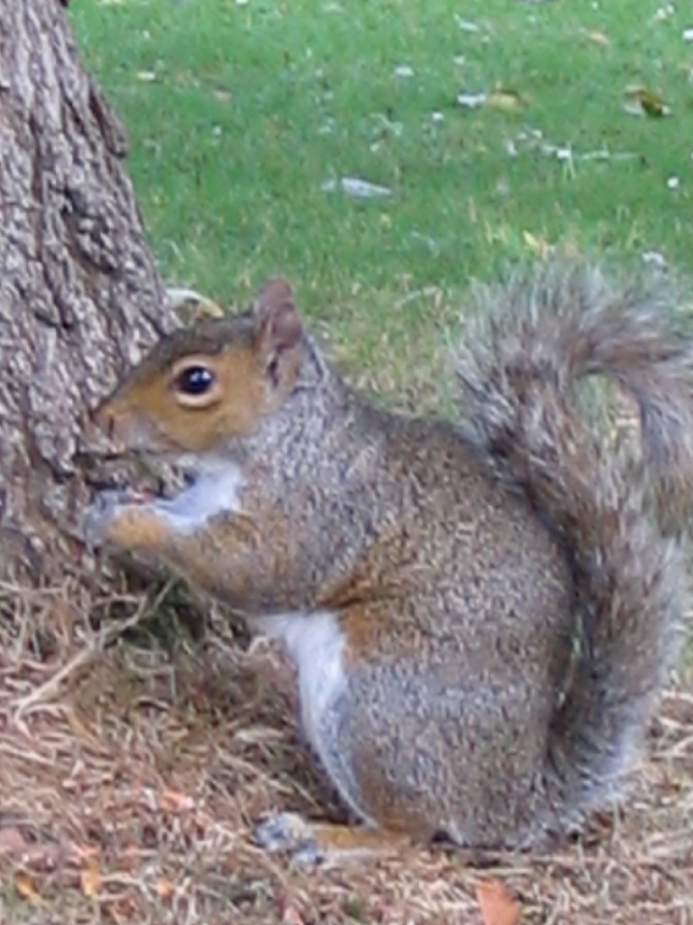 Grey Squirrel - Botanic Gardens