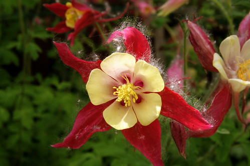 Scarlet and yellow columbine with guest