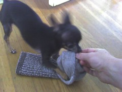 Sock wrestling! The sock struggles under a vicious chihuahua's attack... (Molly at Doggy Lama Pet Care) Tags: cameraphone chihuahua sock war attack lola vicious