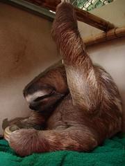 Beestje (luiaard/sloth)