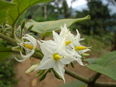 White Flower (don't ask me what species!!) (Kenny Fong) Tags: camping waterfall sungai langat lepor hulu