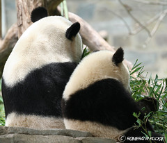 Always by your side (somesai) Tags: animal animals back panda tian tai nationalzoo endangered pandas meixiang pandacub taishan dczoo butterstick fcawinner