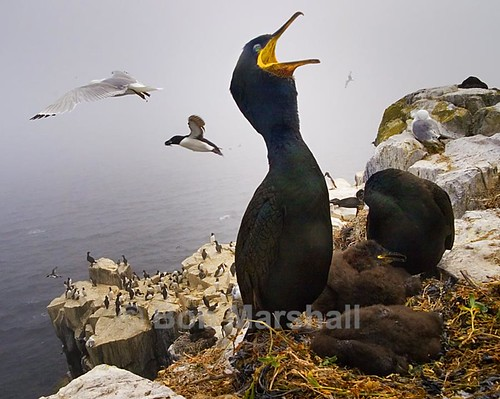 Shag and Guillemot Colony - Farne (Phalocrocorax Aristotelis)