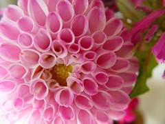 20060714 - Dahlia (sadalit) Tags: pink dahlia flower petals ayearofcolor ayoccarnationpink