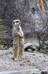 Meerkat! Ahoy! (Lord Biro) Tags: photo meerkat edinburgh unfound myfavourites edinburghzoo