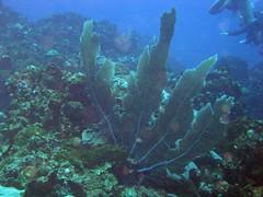 Coral (Ali Onur) Tags: colombia scuba buceo busne kolombiya islafuerte clubdeorcas