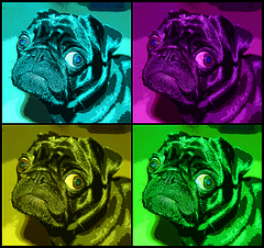 Pop Art Pug (jnhkrawczyk) Tags: dog art colors photoshop buddha pug pop annoyed jillnhamiltonkrawczyk