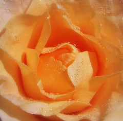 Droplets On My Rose... (~Dezz~) Tags: flowers flower macro nature rose peach 5hits btld