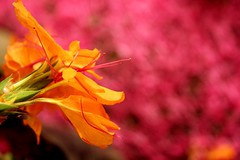 buwak (Farl) Tags: travel pink orange flower colors blossom philippines cebu talisay cebusugbo makopa