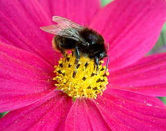 Yummie (Natascha) Tags: pink summer flower macro nature yellow closeup porn novideo humblebee brezndieb fourfavs2 fourfavs1 fourfavs3 fourfavs4 fourfavs5