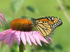 Pretty Monarch Butterfly 003 (Chrisser) Tags: flowers ontario canada flower nature fleur animal fleurs butterfly insect butterflies insects lepidoptera papillon monarch mostfavorited mostviewed naturesfinest flowerfactory lpidoptre thecontinuum i500 specnature specanimal olympuscamediac765 ratemyphotos flickrsmileys abigfave 3alarmphoto heartawards heartaward platinumheartaward platinumheartawards fbdg vosplusbellesphotos