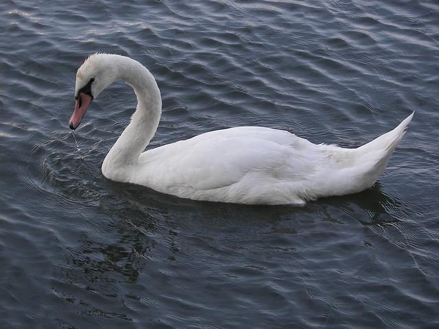 See Swan sea!
