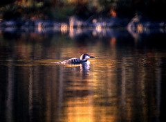 loon magic (Steve took it) Tags: lake ontario canada reflections loon bwca bokehphotooftheday bokehsonicejuly bokehsonicejuly28