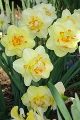 Close Up Tahiti Daffodil (1) (lcmcolor) Tags: spring beds pansy 2006 pots tulip premium flowerbeds